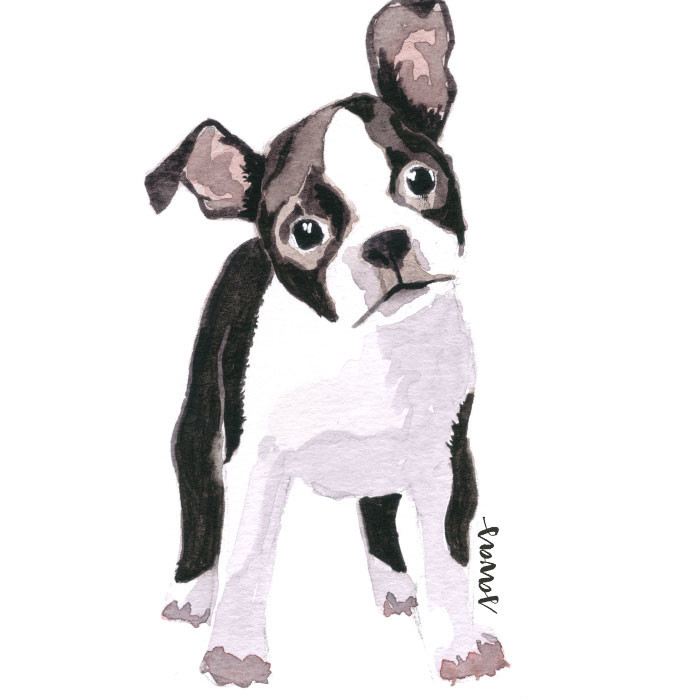 Boston Terrier Isabela Savas