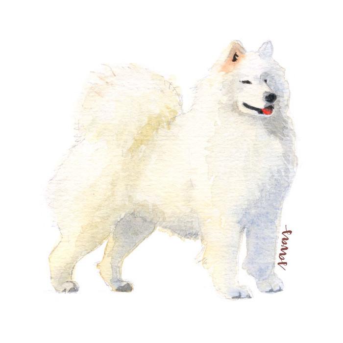 Samojede Hund